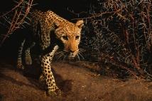 Lanting_Leopard_005777-01