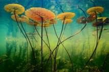 Lanting_Water_Lilies_001379-01a